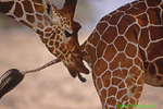 Reticulated giraffe testing female urine for fertility (AM185)