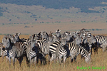 Grant's zebras (AM933)