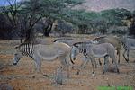 Grevy's zebras (AM948)