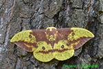 Male Imperial moth (DBU871)