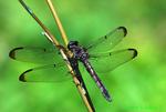 Female great blue skimmer (DDF834)