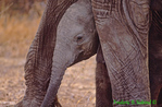 Baby African elephant under mother's legs (AM688)