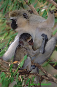 Vervet monkey and baby (AM736)