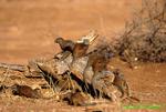 Dwarf mongoose group (AM1242b)
