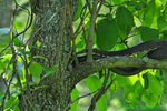 Black rat snake in tree (DSN91)