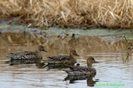 Female common pintails (DGD41)