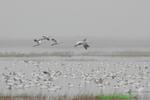 Snow geese in fog (DGD86)