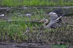 Great blue heron tossing rockfish (DHR158)