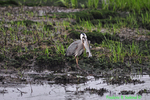 Great blue heron with rockfish (DHR168)
