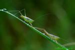 Male and female lesser meadow katydids (DIN31)