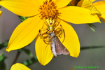 Crab spider with moth on tickseed sunflower (DSP5a)