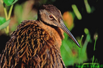Juvenile king rail (BD428)