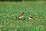 Killdeer and chick (BD270)