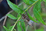 Rabid wolf spider with egg sac (DSP41)