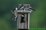 Tree swallows at nest box (DSB93a)