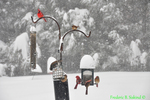 Cardinals, Carolina wren and European starling at feeders in snow (DSB162)