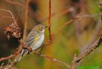 Yellow-rumped warbler (DSB83)