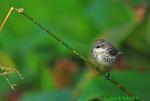 Yellow-rumped warbler (DSB84)