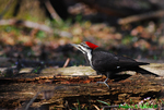 Piliated woodpecker (DBD14)