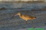 Marbled godwit on beach (DSH104)