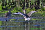 Willets courting (DSH31)