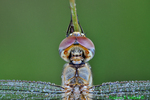 Dew-covered Wandering glider close-up (DDF1182a)