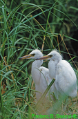 Young snowy egrets in nest (EG144)