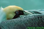 Brown pelican (BD2)
