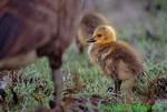 Canada goose gosling (GD284)