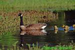 Canada goose gosling (GD332)