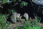 Uinta ground squirrels (MM50)