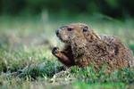 Groundhog (MM58)
