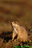 Black-tailed prairie dog (MM171)
