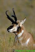 Pronghorn antelope (MM258)