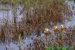 Canada goose goslings (GD301)