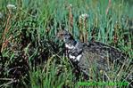 Spruce grouse (BD135)