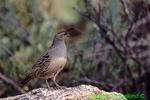 Gambel's quail (BD347)