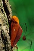 Orange-striped oakworm moth with daddy-long-legs in back (BU775)