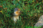 Columbian ground squirrel (MM444)