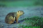 Richardson's ground squirrel scratching (MM602)