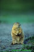 Richardson's ground squirrel (MM603)