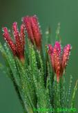 Deptford pink (FL312)