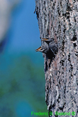 European starling young in nest cavity (SB951)
