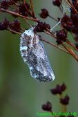 Buckeye chrysalis (BU194)
