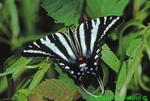 Zebra swallowtail (BU678)