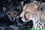 Cheetah and cub (AM113a)