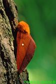 Orange-striped oakworm moth (BU773)