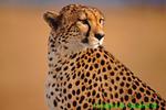 Cheetah (AM9)