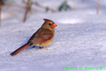 Female northern cardinal with seed in snow (SB508)