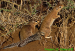 African ground squirrels (AM703)